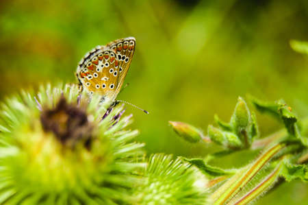 Butterfly on burdock