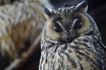 Big owl Stock Photo