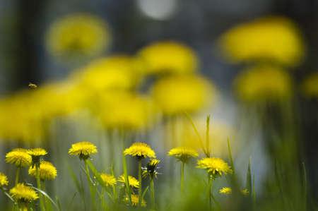 Yellow dandelion flowers Stock Photo