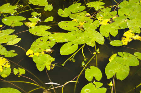 Water lily in the pond 版權商用圖片