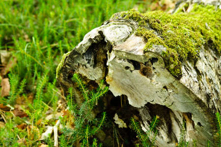 Hollow stump with moss on it.