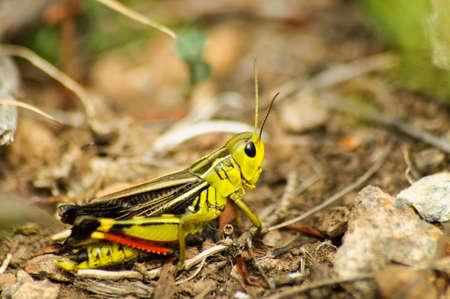 Yellow cricket on the ground. Stock Photo