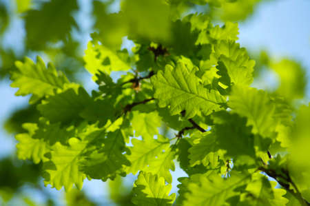 Oak leaves in a bright sunny day