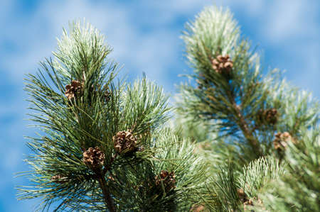Pine tree branch with dry conifers Stock Photo
