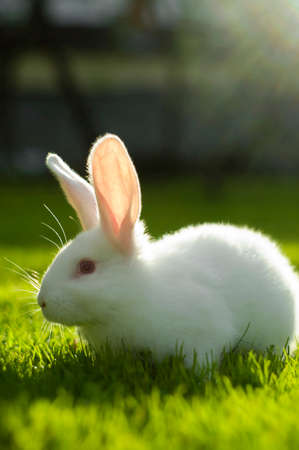 White bunny on a sunny grass field