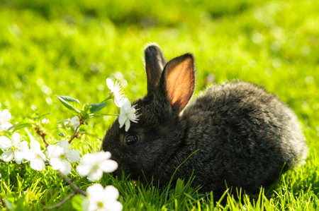 Black bunny in grass field with cherry flowers