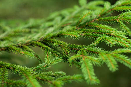 Branch of spruce tree in the forest Stock Photo
