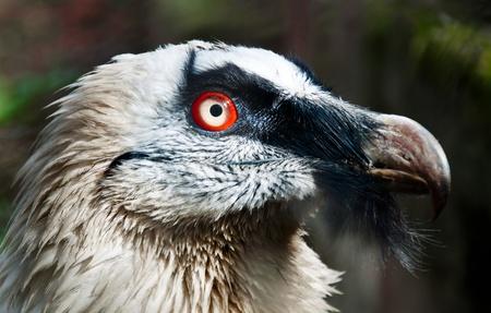Porträt eines bärtigen Vogel