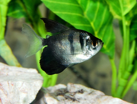 tetra fish: black tetra in aquarium