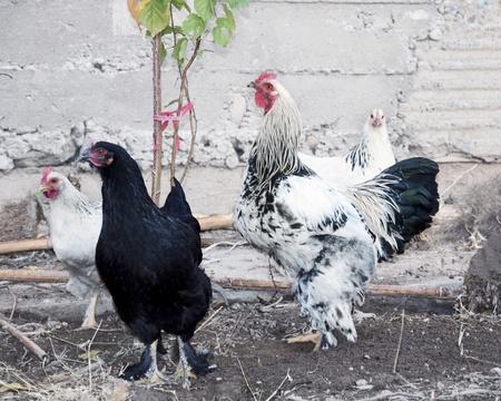 hens on farm photo