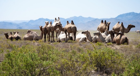 the herd of camels has a rest in mountains (kazakhstan) photo