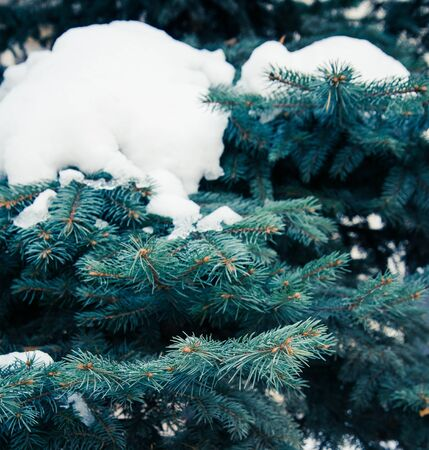 the background of blue spruce branches with snow