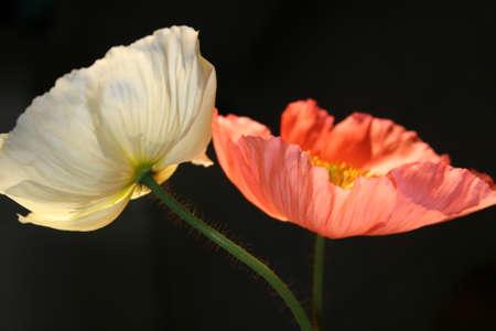 oriental poppy: White and orange poppies Stock Photo
