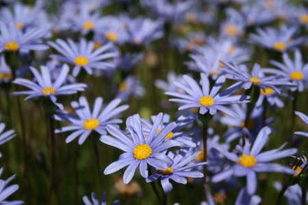 Close up of blue daisies Stok Fotoğraf