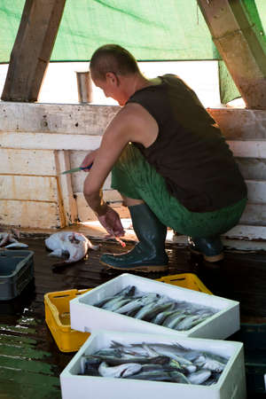 Tribunj, Croatia - August, 24, 2018: Fisherman sorting out the catch and gutting a fish on a deck of a trawler boat