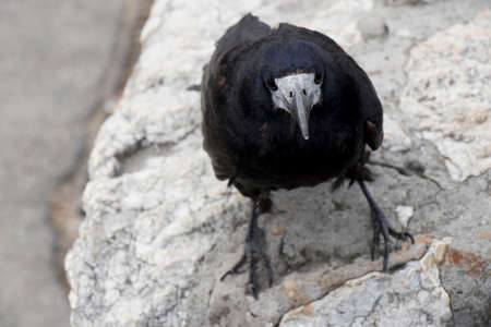 Old raven or crow, common city black bird, looking at camera, close up 免版税图像