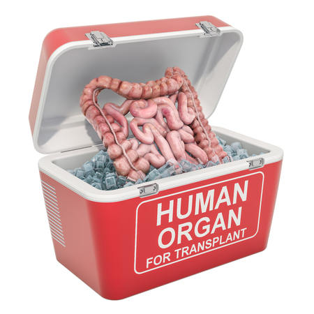 Human bowel inside portable fridge for transporting donor organs, 3D rendering isolated on white background Stock Photo