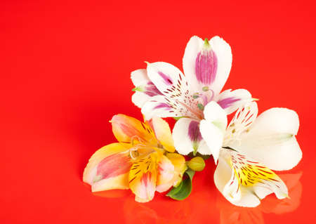 Alstroemeria flowers laid out on a glossy red background photo
