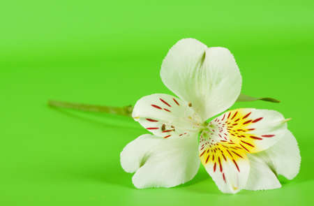 White alstroemeria flower on a stalk with green background photo