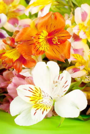 The bright white alstroemeria with a blurred background photo