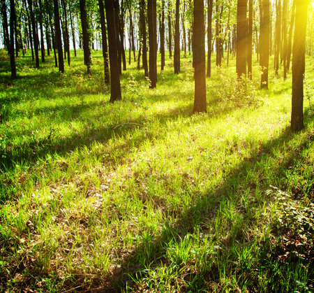 Suns rays piercing the foliage in woods 版權商用圖片