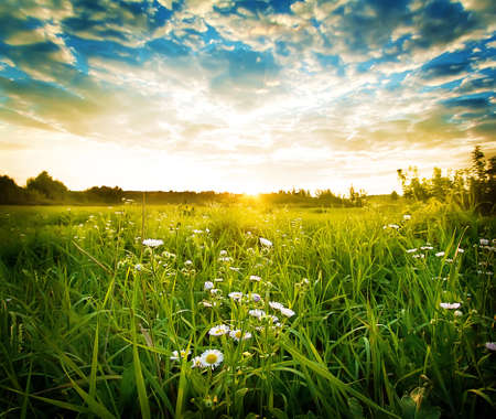 Green meadow with white daisies at sunset 版權商用圖片
