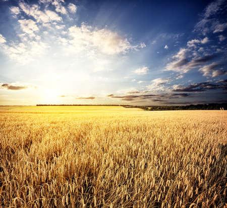 cosecha de trigo: Golden campo de trigo bajo un sol poniente Foto de archivo