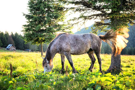 dapple horse: Gray dapple horse with its tail waving in the backlit sunlight Stock Photo