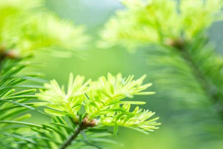 grüne Nadeln Tannenzweige mit selektiven Fokus erschossen