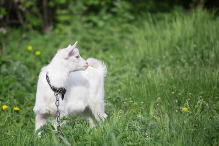 Little white goat on a chain