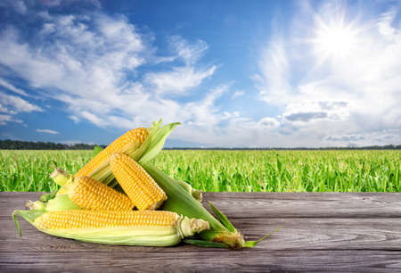 Ripe yellow corn on wooden board against a cornfield background