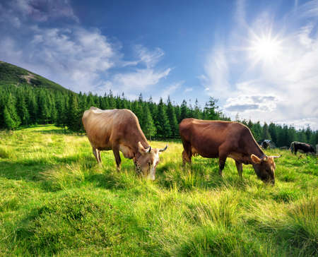 Cows on mountain pasture in green grass Imagens