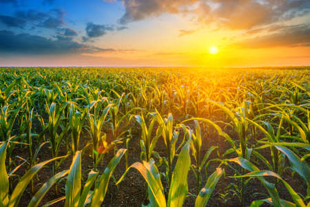 Corn field at sunset with bright sun