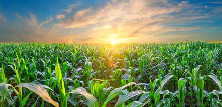 Panorama of corn field at sunset Standard-Bild