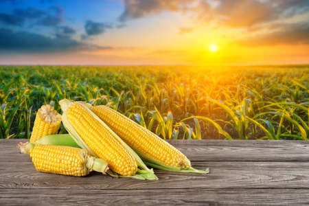 Ripe corn on wooden table against background of corn field at sunset Standard-Bild