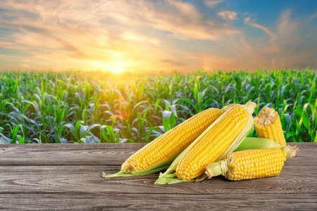 Ripe corn on table against background of cornfield Standard-Bild