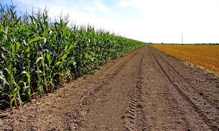 non cultivated: The corn field and the field of cut grass