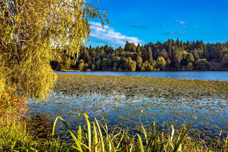Deer Lake Park in Burnaby City,  forest lake covered with water lilies, and forest on the background of blue cloudy sky
