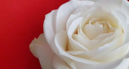 Close up of a beautiful soft fresh white rose on a red background