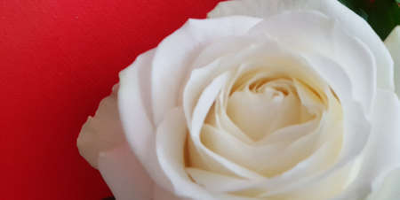 Close up of a beautiful fresh white rose on a red background
