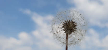 Close-up of a single white fluffy head of dandelion in front of cloudy blue sky background Imagens