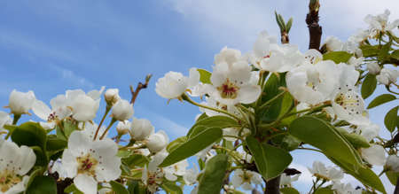 Spring pear flowers blooming on branches in the sunny afternoon over blue sky background covered with white clouds