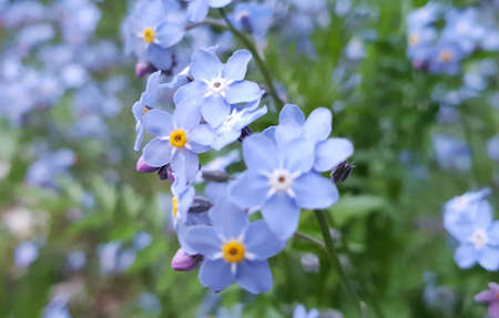 Close-up of beautiful little Forget-me-not flowers or Myosotis blooming on a spring day
