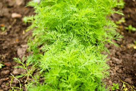 On the vegetable garden in the village you can find home-grown homemade crops and such as dill. This plant is an ingredient for cooking, an indispensable seasoning for fresh salad.