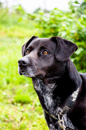 A domestic black dog on a leash is the pets favorite pet in the family. Always kind and good in relation to the owners. Stock Photo