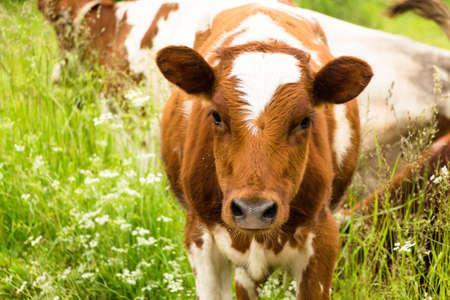 小さな子牛のカブは、ふくらはぎです。村では、牛の数が印象的です。工業用としては使用されません。そこに住んでいる人々 - 自分の目的のため