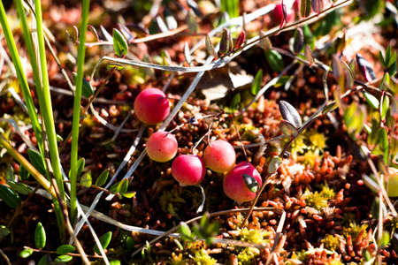 A lot of cranberries in the marshland in the forest, begins to sing and turns red