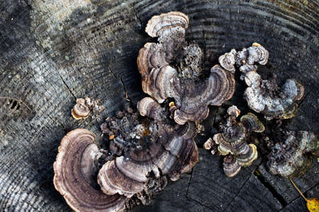 Mushrooms grebe to various forms on the old and rotten stumps in the forest. Beautiful texture