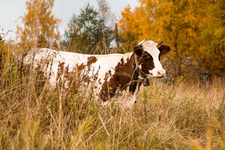 A large and adult cow eats grass on a pasture in the countryside Stock Photo