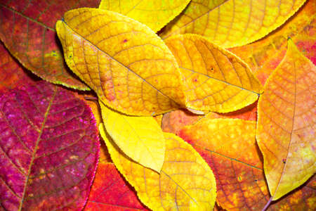Beautiful and colorful leaves ripped off the autumn tree. Contest of colors from red to bright yellow.